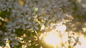 Flowers of bird cherry in the rays of sunlight stock video footage
