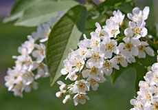 Flowers of Bird Cherry Tree Royalty Free Stock Images