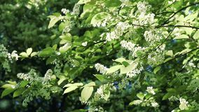 Flowers bird cherry tree swinging in the wind stock video