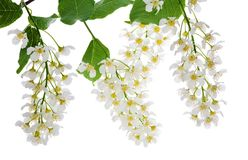 Flowers of bird cherry tree on white Stock Images