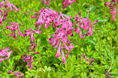 Flowers of birthwort (Corydalis buschii) 3 Stock Image