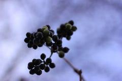 Flowers (black berries) Stock Images
