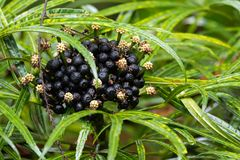 Flowers, black berry of Green Aralia Miagos bush ornamental pl. Closeup clutters of flowers, black berry seeds of Green Aralia Miagos bush tropical ornamental Stock Image