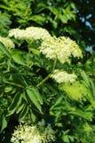 Flowers of Black elder Stock Image