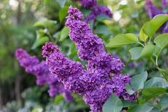 Elderberry. Flowers of black elder, violet varietie garden Royalty Free Stock Image