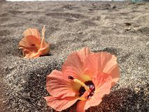 Flowers on black sand. Orange flowers on black sand royalty free stock images