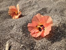 Flowers on black sand. Orange flowers on black sand royalty free stock photography