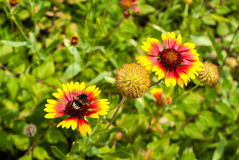 Flowers of a blanket flower with a bumblebee Stock Photography