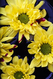 Flowers with blood. Yellow flowers with blood on dark blue backbround Royalty Free Stock Photo