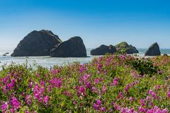 Flowers Bloom Above Meyers Beach On Oregon Coast. In summer Royalty Free Stock Images