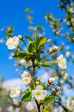 Flowers Bloom Apple Tree. Flowers Blooming Apple Tree on Blue Sky Royalty Free Stock Photos