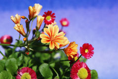 Flowers in bloom with background in transition. Flowers blooming yellow and red with dark blue sky background transition Stock Photography