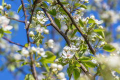 Flowers bloom on a branch of pear against blue sky. Royalty Free Stock Image