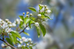 Flowers bloom on a branch of pear against blue sky. Royalty Free Stock Photo
