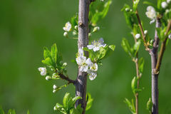 Flowers bloom on a branch of pear Stock Photos