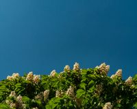 Flowers bloom on chestnut tree at blue sky royalty free stock images