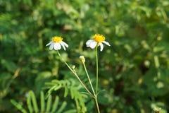 Flowers bloom in the early sunshine, Bidens pilosa Stock Photo