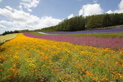 Flowers bloom in farm Tomita in Nakafuano town in. Flowers bloom in farm Tomita in Nakafurano town in Hokkaido, northern Japan stock image