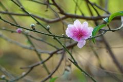 Beauty of spring flower. Peach blossom. Flowers bloom in garden. Signals of spring stock images
