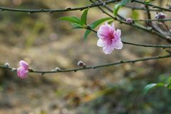 Branch of peach blossom in spring equinox. Flowers bloom in garden. Signals of spring stock photo