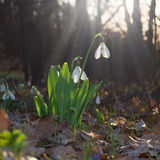 Flowers bloom snowdrop Royalty Free Stock Photo