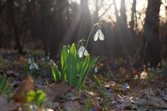 Flowers bloom snowdrop. On the sunny meadow flowers bloom snowdrop Stock Image