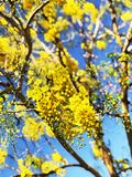Flowers bloom during Songkran Festival. Thai people call Ratchaphruek or Dok koon. Yellow flowers with blue sky. Beautiful yellow flowers Full bloom early in Royalty Free Stock Photography