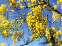 Flowers bloom during Songkran Festival. Thai people call Ratchaphruek or Dok koon. Yellow flowers with blue sky. Beautiful yellow flowers Full bloom early in Stock Image