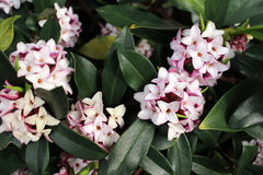 Flowers bloom in spring emit a nice fragrance, daphne Royalty Free Stock Image