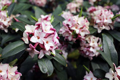 Flowers bloom in spring emit a nice fragrance, daphne Stock Images