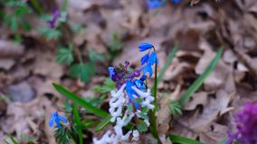 Flowers bloom in spring park, flowers bloom Corydalis, Scilla, colorful spring flowers in the woods. Flowers bloom in spring Park, flowers bloom Corydalis stock video