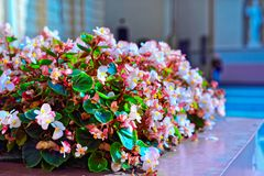 Flowers in bloom. Vilnius, Lithuania stock photo