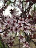 The apple trees have blossomed. royalty free stock images