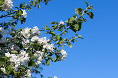 Flowers Blooming Apple Tree Royalty Free Stock Photography