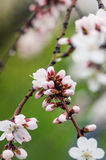Flowers blooming apricot tree on a background of leaves and sky Royalty Free Stock Photos
