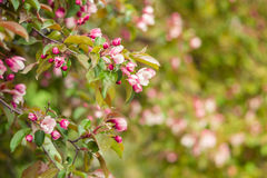 Flowers blooming apricot tree on a background of leaves and sky Stock Photos
