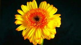 Flowers in blooming stock video footage