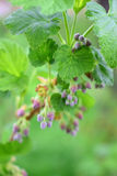 Flowers of blooming currant growing in a public garden. Stock Image