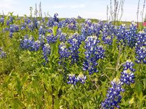 Bluebonnet Trails stock photography