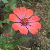 Flowers. Blooming flower with nine petals with mix colors Royalty Free Stock Photography