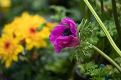 Flowers blooming in a group in the garden with purple anemone out in front. Purple anemone growing in a group in the garden during spring stock photos