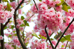 Flowers of blooming Japanese cherry tree Stock Images