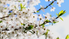 Flowers blooming mirabelle stock video
