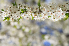 Flowers blooming mirabelle Royalty Free Stock Images
