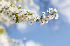 Flowers blooming mirabelle. Floral background Stock Photos