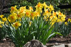 Yellow Daffodils in Spring Garden royalty free stock photo