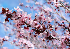 Flowers of blooming peach. Delicate flowers of blooming peach tree on a blue sky background Stock Photos