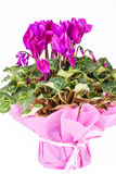 Flowers of blooming  pink cyclamen in pot  on white background Royalty Free Stock Image