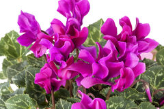 Flowers of blooming  pink cyclamen on white background Royalty Free Stock Images