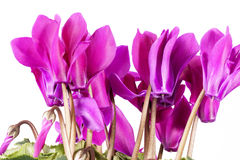 Flowers of blooming  pink cyclamen on white background. Flowers of blooming  pink cyclamen isolated on white background Stock Images